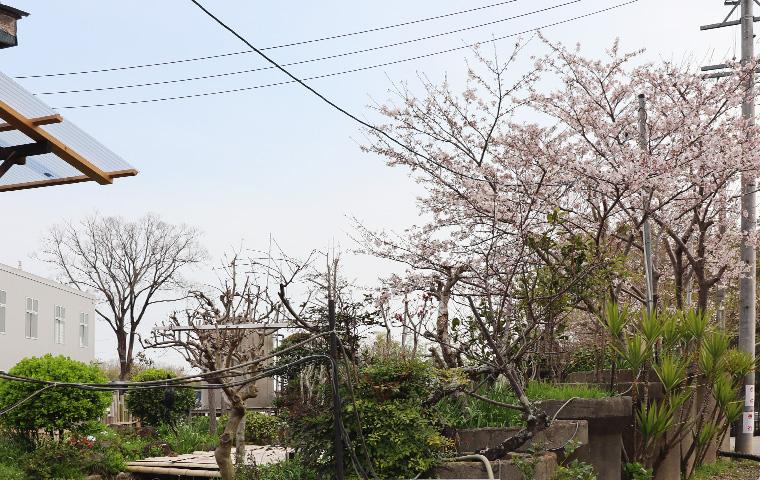 第二工場の桜
